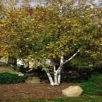 Birch Whitespire