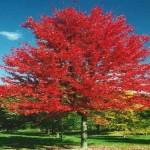 Maple Autumn Radiance