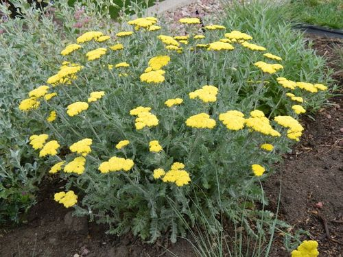 Achillea Yarrow Moonshine