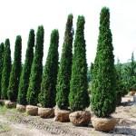 Arborvitae Degroots Spire