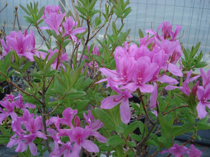 Azalea- OrchidLights