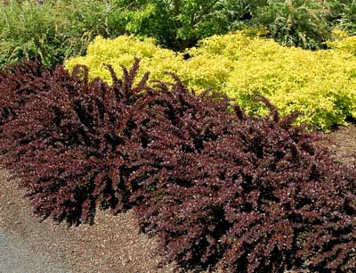 Barberry- Crimson-Pygmy-Barberry