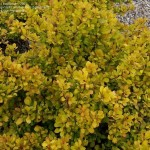Barberry- Golden nugget