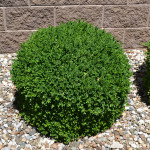 Boxwood- Chicagoland green