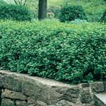 Currant- Green mound alpine