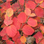 Fothergilla- Mount Airy