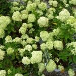 Hydrangea- little lime