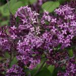 Lilac- bloomerang