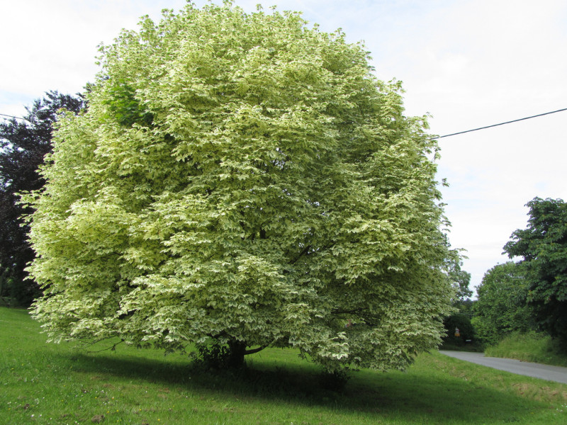 Maple- Variegated Norway