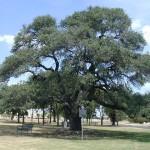 Oak- Heritage