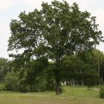 Oak- Northern Pin