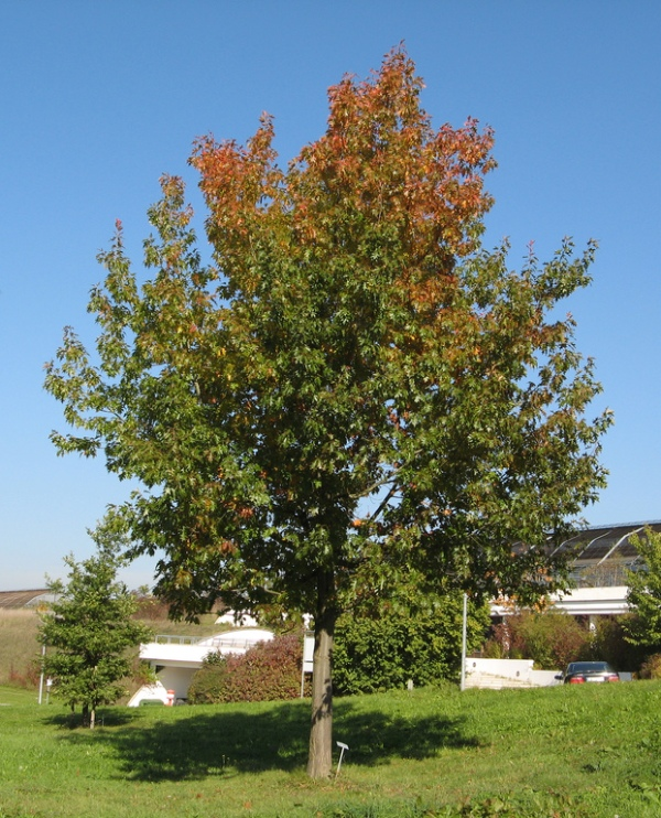 Northern Red Oak ~ Groundwrx oak northern red