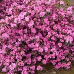 Rhododendron- aglo