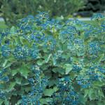 Viburnum- blue muffin