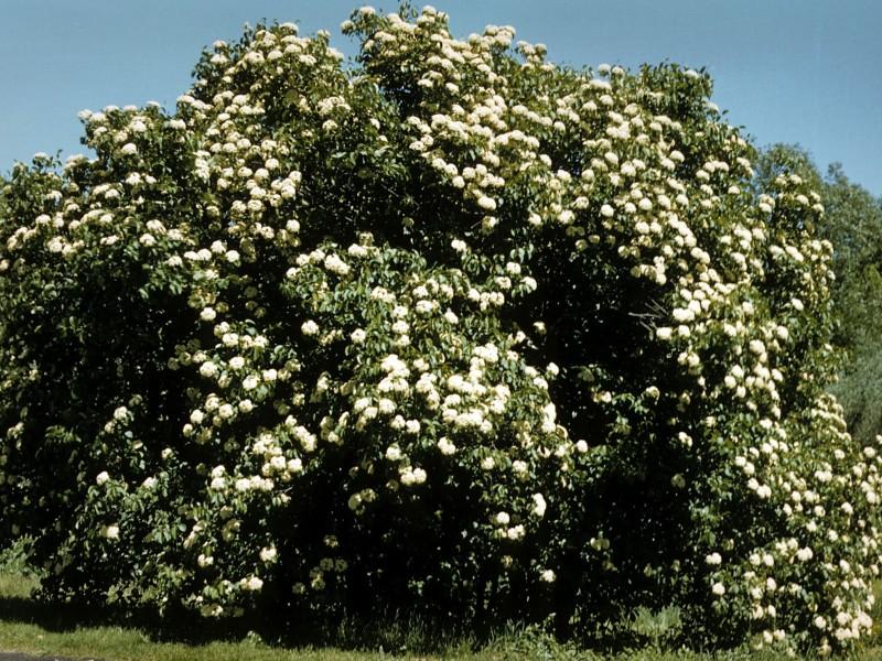 Viburnum- nannyberry