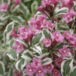Weigela- my monet