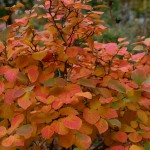 chokeberry- autumn magic