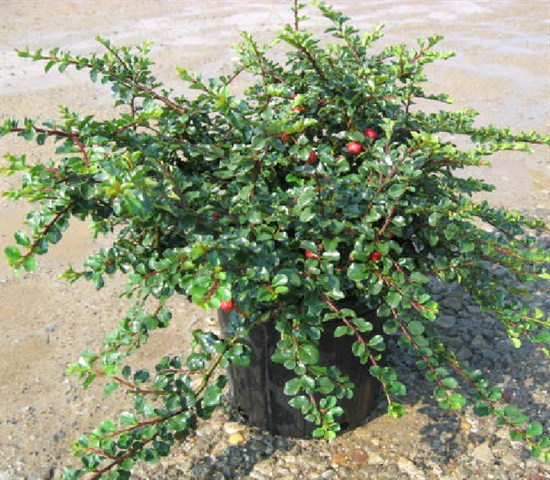 cotoneaster- cranberry