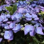 hydrangea- bloomstruck