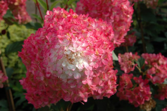 hydrangea- vanilla strawberry