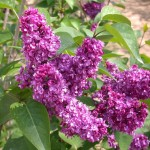 lilac- charles joly