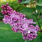 lilac- sensation