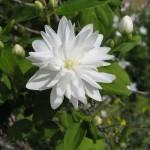mockorange- miniature snowflake