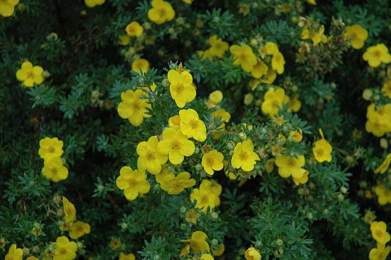 potentilla- gold drop