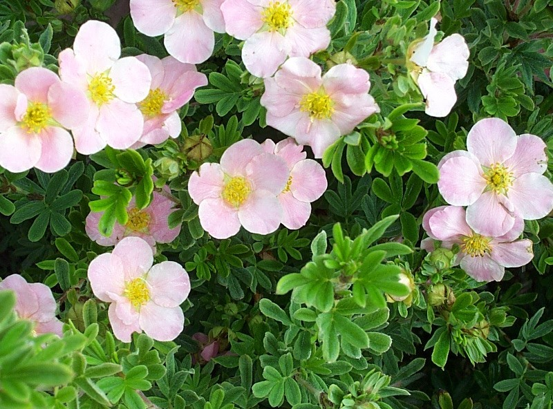 potentilla- pink beauty
