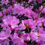 rhododendron- pjm