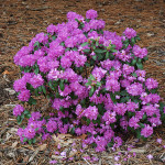 rhododendron- pjm compacta