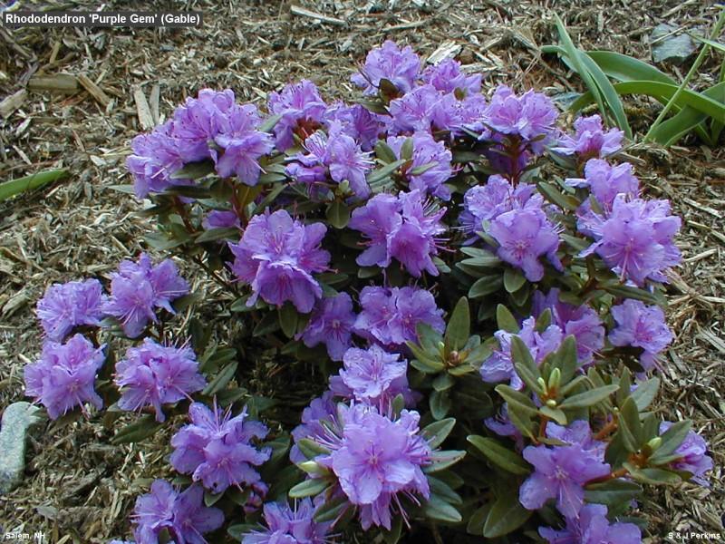 rhododendron- purple gem