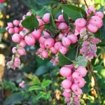 snowberry- candy