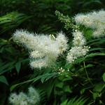 sorbaria- ash leaf spirea
