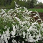 spirea- Snowmound- Spirea