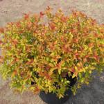 spirea- goldflame