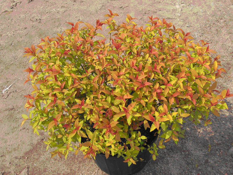 spirea- goldflame