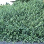 sumac- gro low fragrant