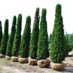 Arborvitae- Degroots spire