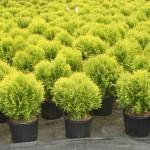 Arborvitae- Golden Globe