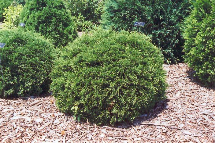 Arborvitae- Hetz Midget