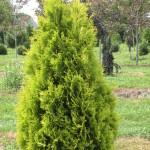 Arborvitae- Yellow Ribbon