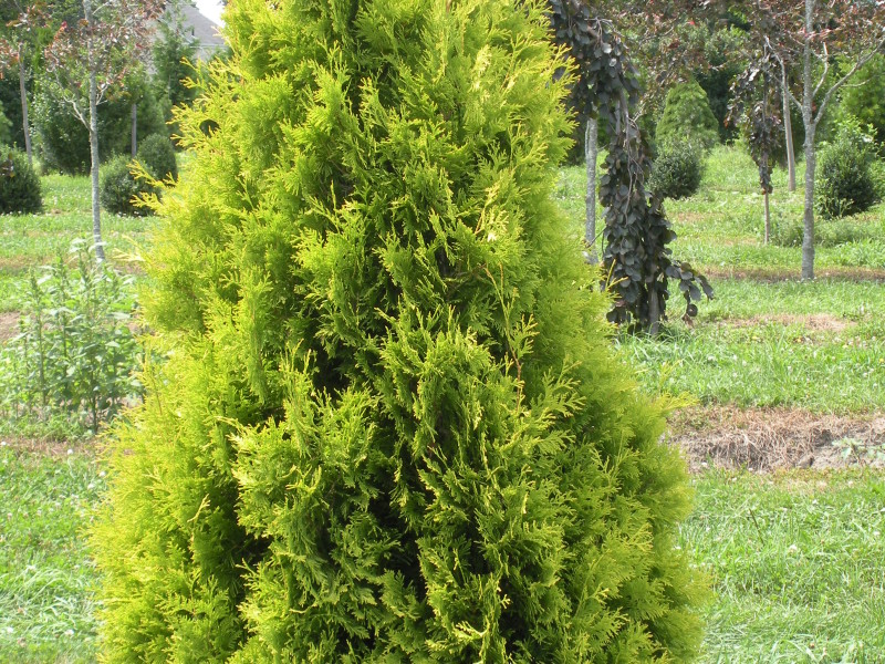 Arborvitae- Yellow Ribbon