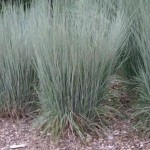 Blue Heaven Grass