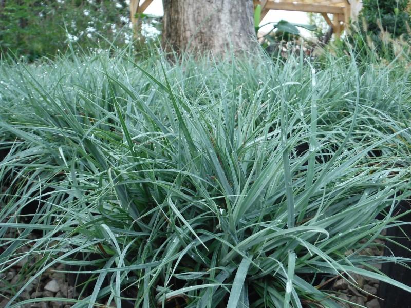 Blue Zinger Grass