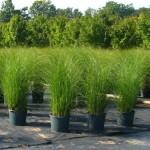 Graziella Grass