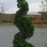 Juniper spiral