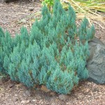 Juniperus_blue forest