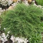 Microbiota russian cypress
