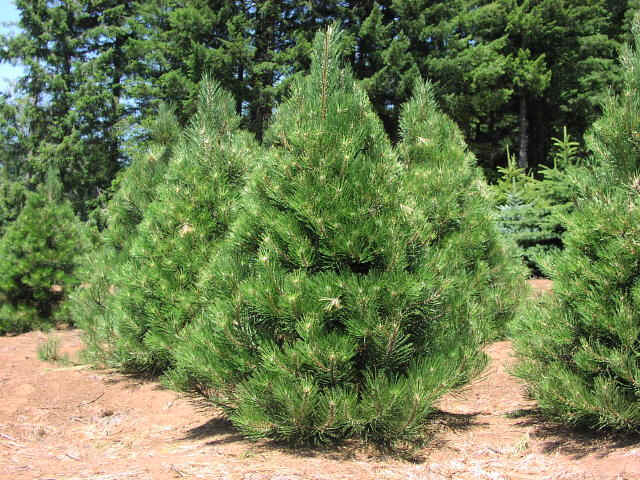 Pine Austrian